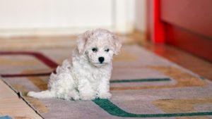 Собака породы Бишон фризе фото 6
