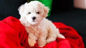 Собака породы Бишон фризе фото 3