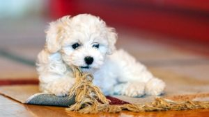 Собака породы Бишон фризе фото 1