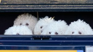 Собака породы Бишон фризе фото 9