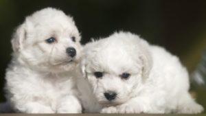 Собака породы Бишон фризе фото 2