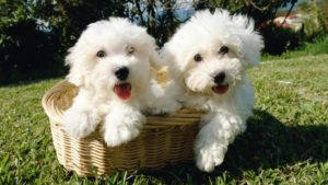 Собака породы Бишон фризе фото 8