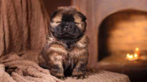 Собака породы Чау-чау фото 7