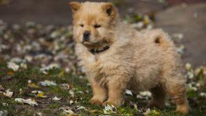 Собака породы Чау-чау фото 9