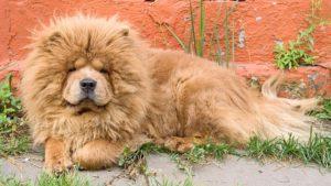 Собака породы Чау-чау фото 1