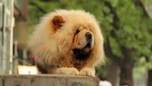 Собака породы Чау-чау фото 4