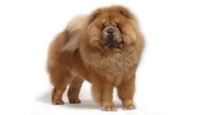 Собака породы Чау-чау фото 5