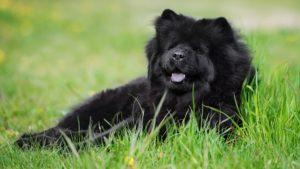 Собака породы Чау-чау фото 3