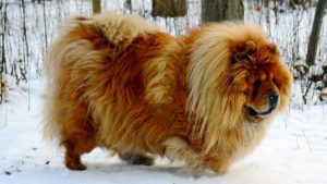 Собака породы Чау-чау фото 8