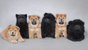 Собака породы Чау-чау фото 2