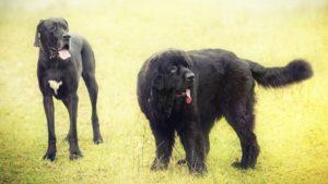 Собака породы Ньюфаундленд фото 1