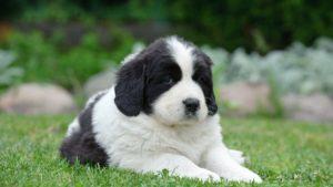 Собака породы Ньюфаундленд фото 8