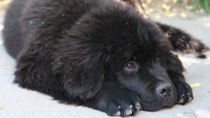 Собака породы Ньюфаундленд фото 7