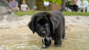 Собака породы Ньюфаундленд фото 6