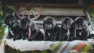 Собака породы Ньюфаундленд фото 2
