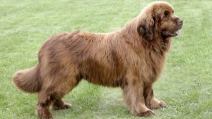 Собака породы Ньюфаундленд фото