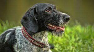 Собака породы Дратхаар фото 8