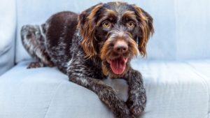 Собака породы Дратхаар фото 1