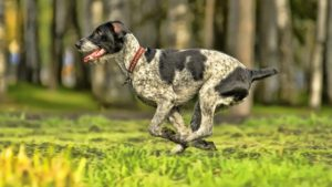 Собака породы Дратхаар фото 6