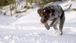 Собака породы Дратхаар фото 9