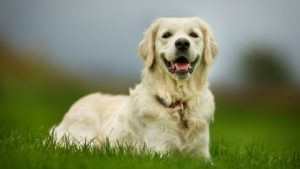 Собака породы Золотистый ретривер фото 3