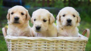Собака породы Золотистый ретривер фото 8
