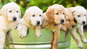 Собака породы Золотистый ретривер фото 2
