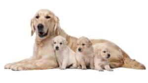 Собака породы Золотистый ретривер фото 5