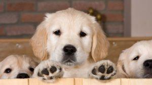 Собака породы Золотистый ретривер фото 6