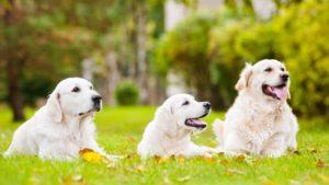 Собака породы Золотистый ретривер фото 7