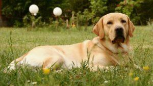Лабрадор лежит на траве