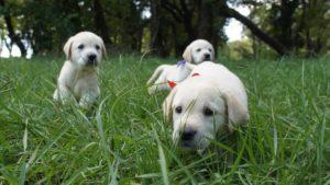 Три щенка породы лабрадор