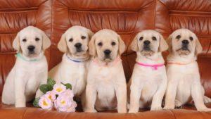 Пять щенков породы лабрадор
