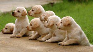 Семь щенков лабрадоров