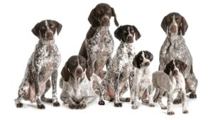 Собака породы Курцхаар фото 5