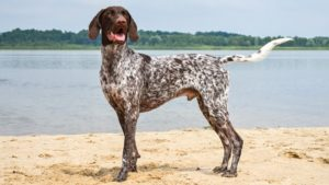 Собака породы Курцхаар фото 9