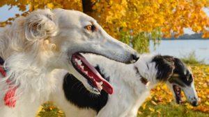 Собака породы Русская борзая фото 4