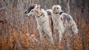 Собака породы Русская борзая фото 3