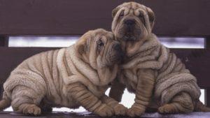 Собака породы Шарпей фото 3