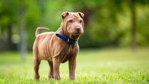 Собака породы Шарпей фото 7