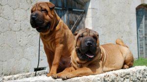 Собака породы Шарпей фото 9
