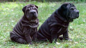 Собака породы Шарпей фото 4