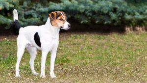 Собака породы Фокстерьер фото 1