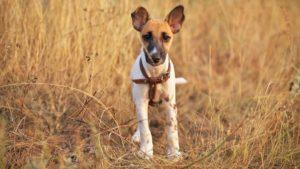 Собака породы Фокстерьер фото 8