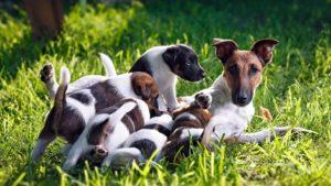 Собака породы Фокстерьер фото 9