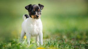 Собака породы Фокстерьер фото 4