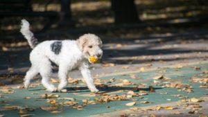 Собака породы Фокстерьер фото 7
