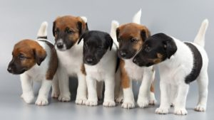 Собака породы Фокстерьер фото 6