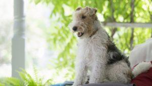 Собака породы Фокстерьер фото 3