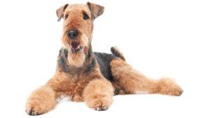 Собака породы Эрдельтерьер фото 5